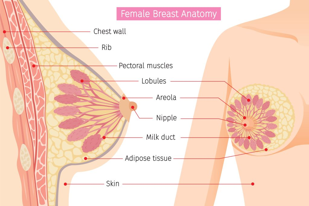 cross section of female breast anatomy-img-blog